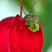 Green Shield Bug by tonygig