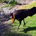 Australian Scrub Turkey ~