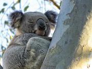 10th Sep 2019 - definitely a koala tree