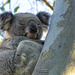 definitely a koala tree