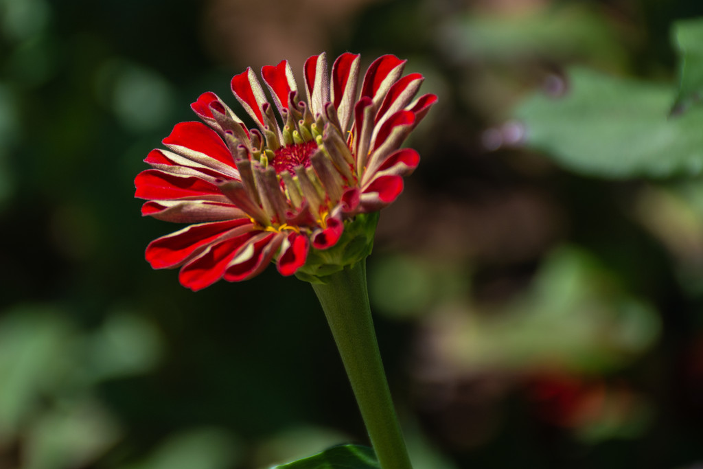 Red Zinnia... by thewatersphotos