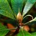 Rhododendron Burst