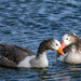 Goose (duck?) love in the spring by maureenpp