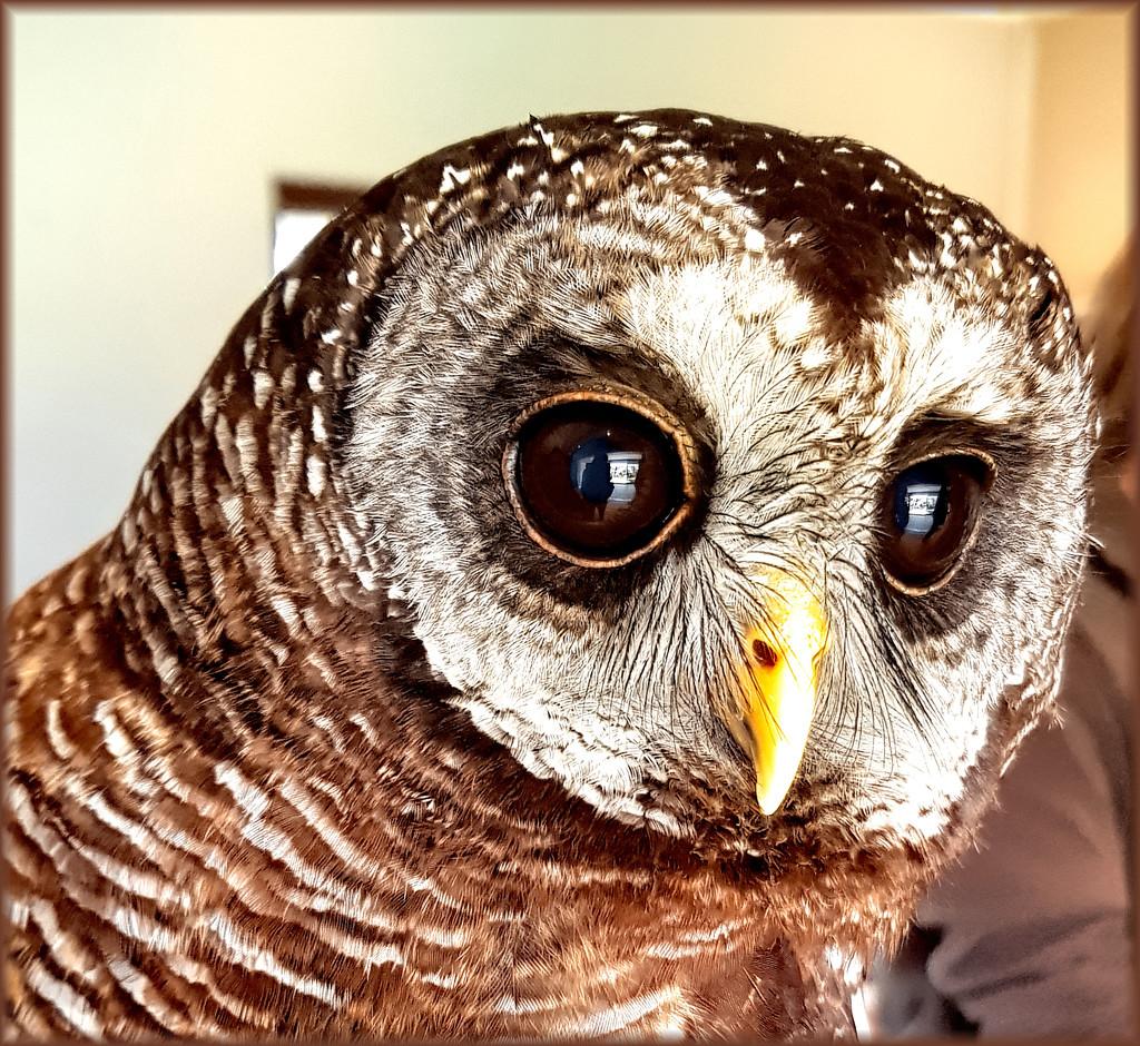Wood Owl up close by ludwigsdiana