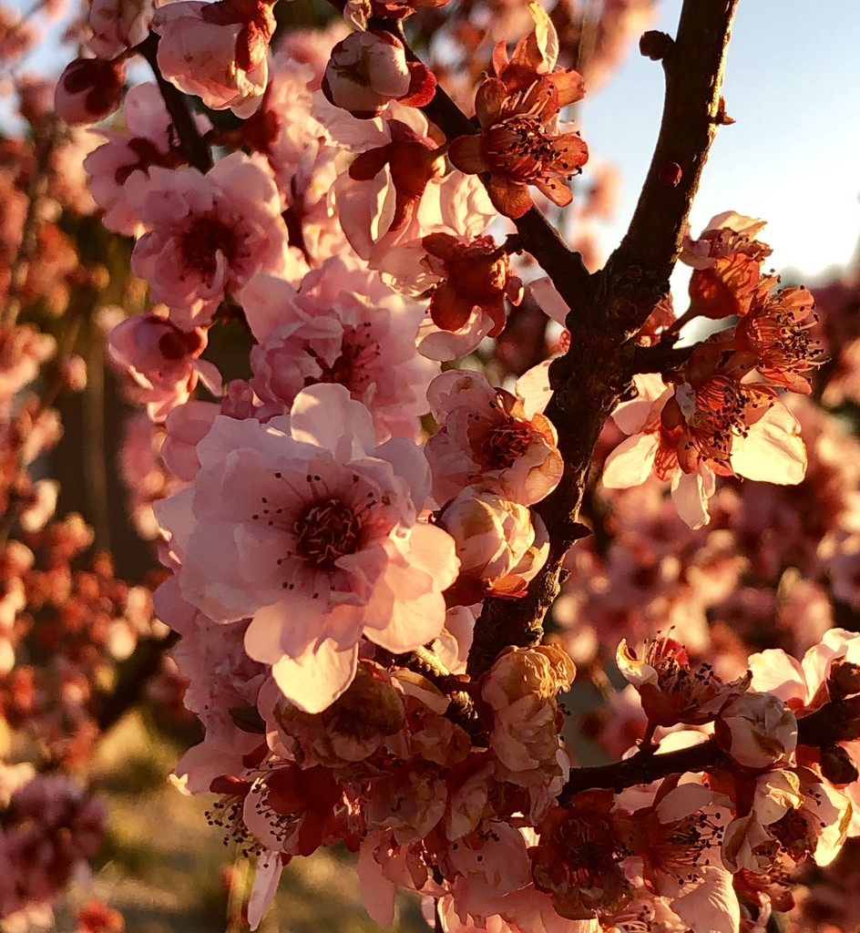Spring Blossoms by nicolecampbell