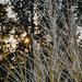 Pampass Grass Sunburst
