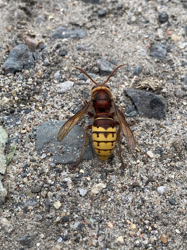 Hornet by mattjcuk
