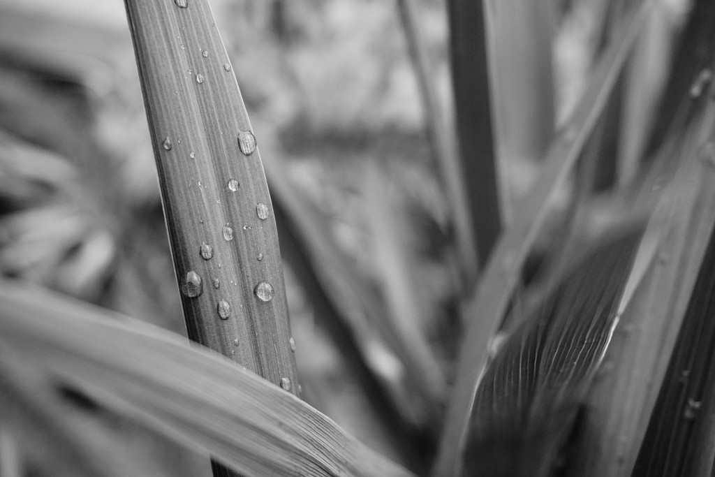 Raindrops on Grasses by granagringa