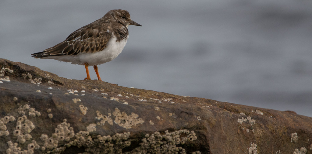Turnstone by lifeat60degrees