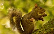 10th Sep 2019 - Mom Grey Squirrel Eating Mushrooms!