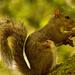 Mom Grey Squirrel Eating Mushrooms!