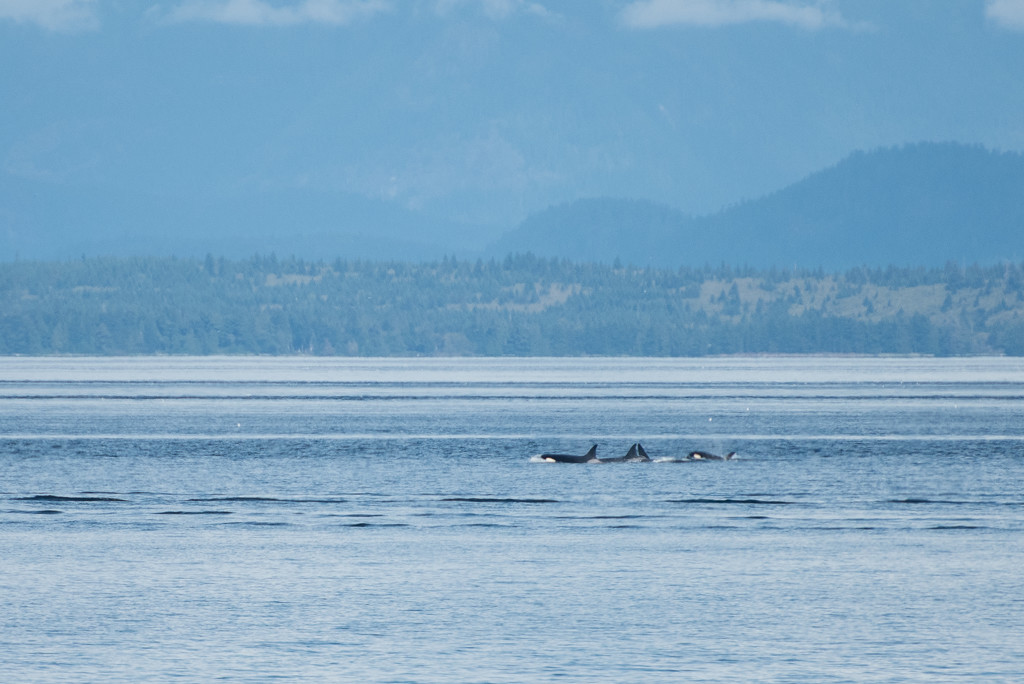 Yesterday it was a Bear... Today it's Orcas! by kwind
