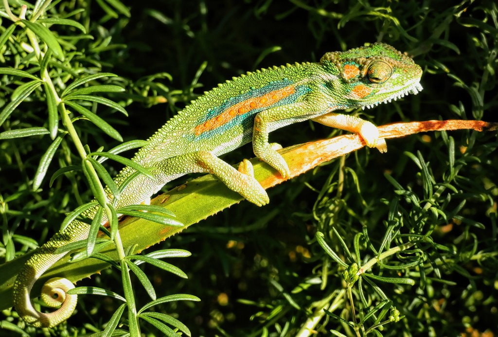 Chameleon enjoying the sunshine. by ludwigsdiana