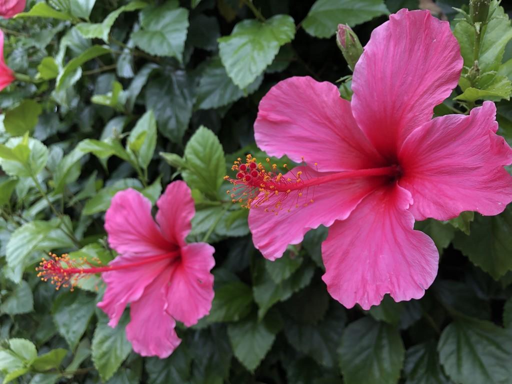 Hibiscus by loweygrace
