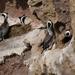 Nesting spotted shags (cormorants)