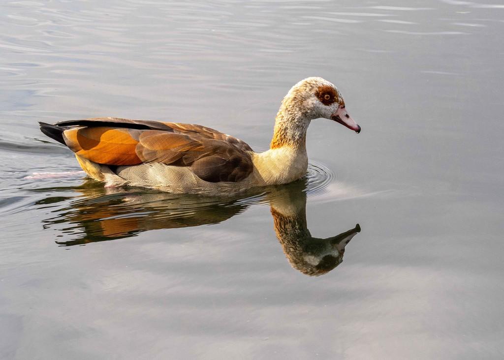Egyptian goose  by shepherdmanswife