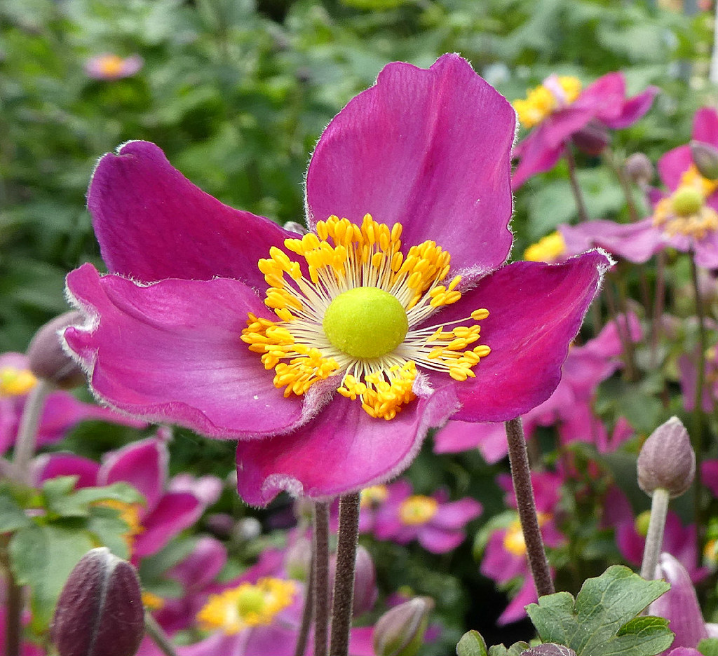 Japanese  Anemone  by wendyfrost