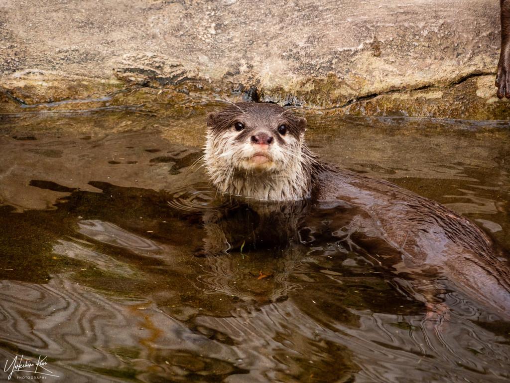 Otter by yorkshirekiwi