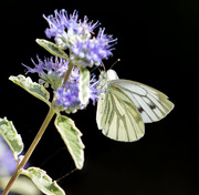 11th Sep 2019 - Green Veined White
