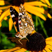 Painted Lady. by tonygig