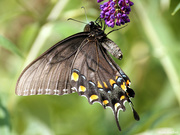 9th Jul 2019 - Eastern Tiger Swallowtail (dark form female)