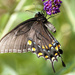 Eastern Tiger Swallowtail (dark form female)