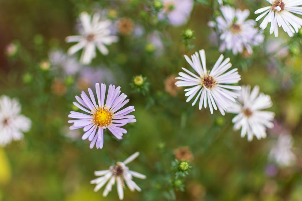 Michaelmas daisies by rumpelstiltskin