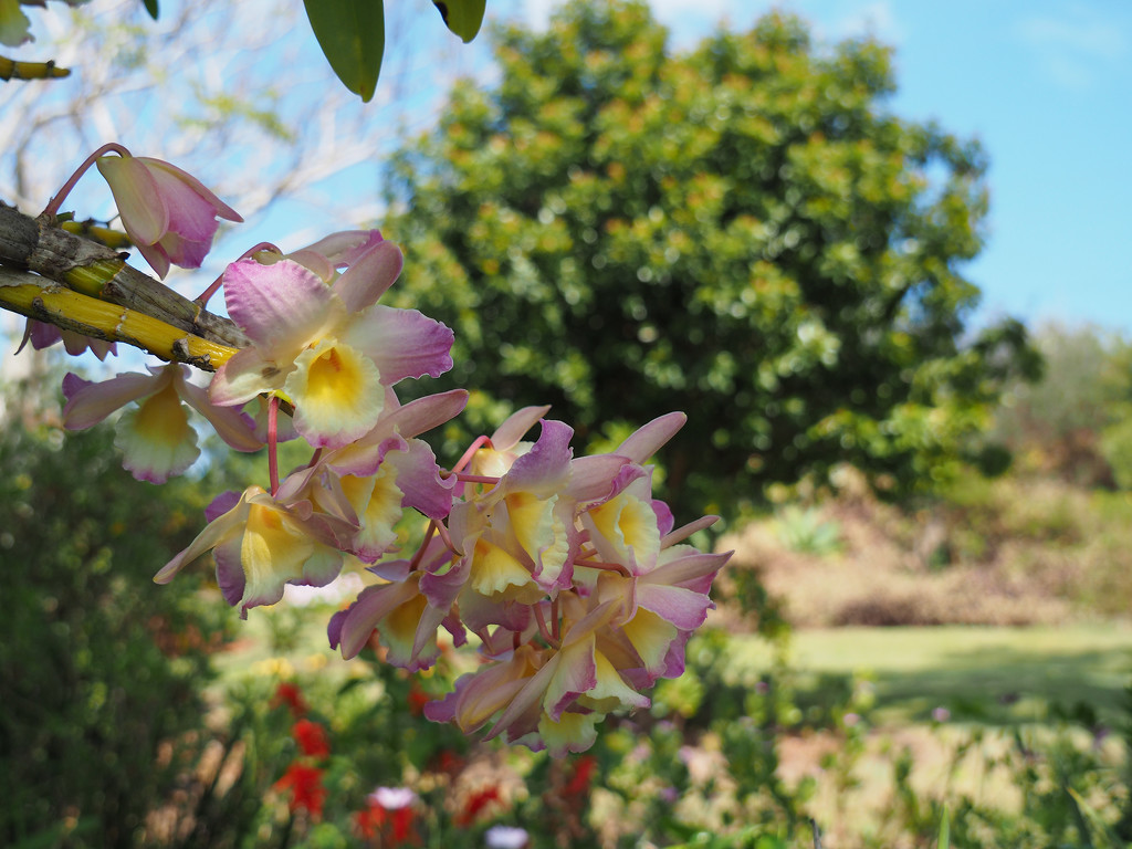 another challenge orchid by koalagardens