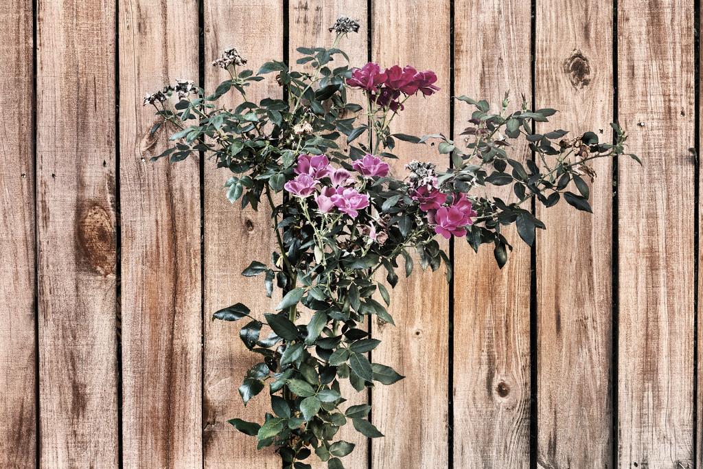 Mauve Roses by kvphoto
