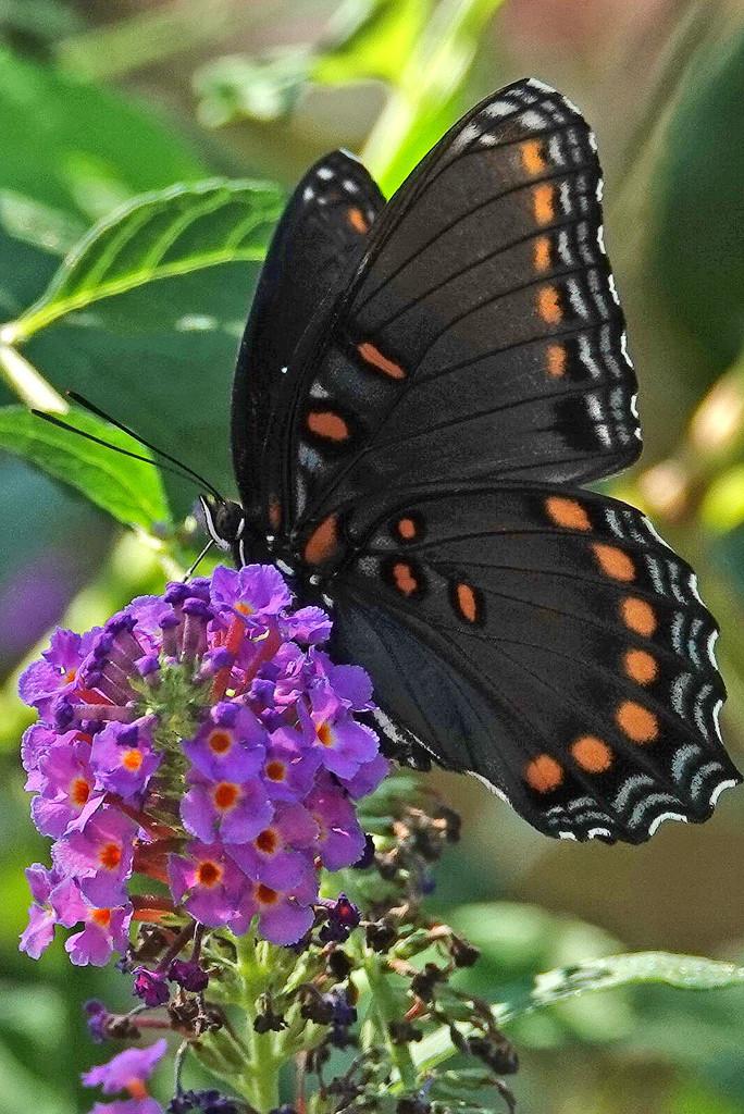 Long Time Between Butterflies! by milaniet