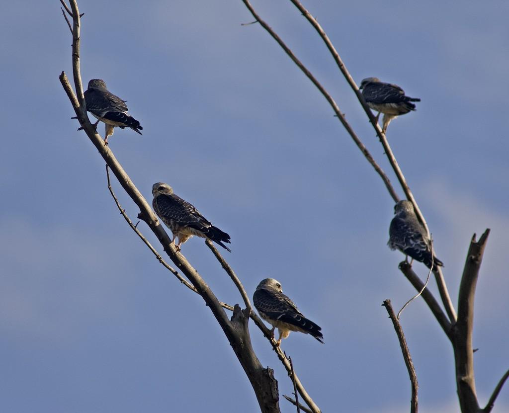 LHG_1873 Mississippi kites Roost by rontu