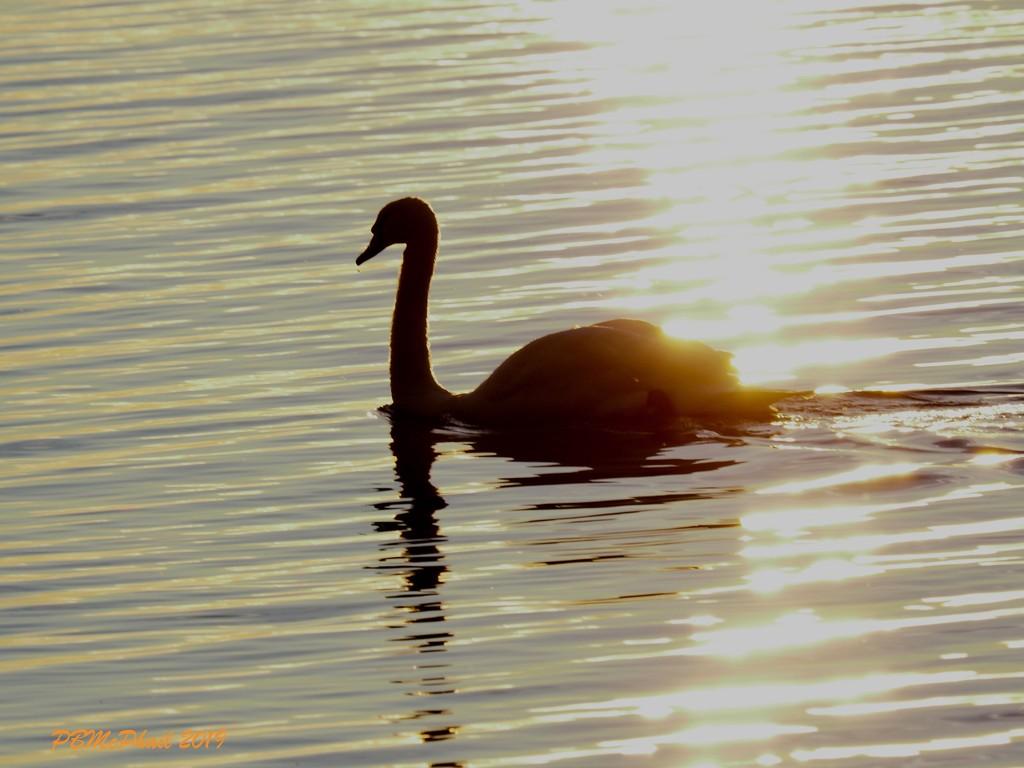 Morning Swim by selkie