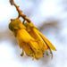 Kowhai on a Windy Day