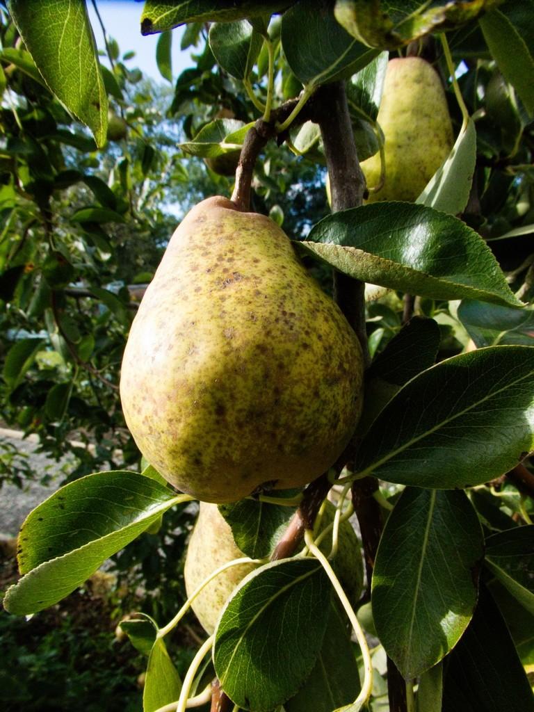 Pear by allsop