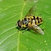 HOVER-FLY -TWO - XANTHOGRAMMA PEDISSEQUUN