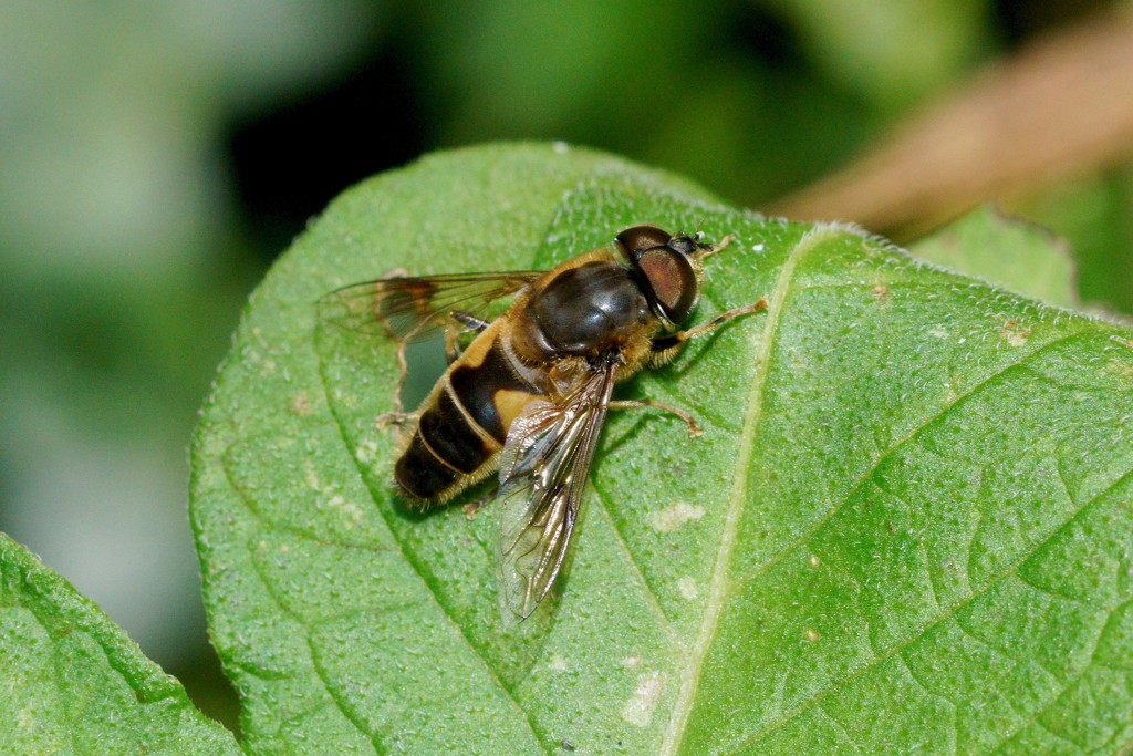 HOVER-FLY -THREE - UNKNOWN SPECIES.  by markp