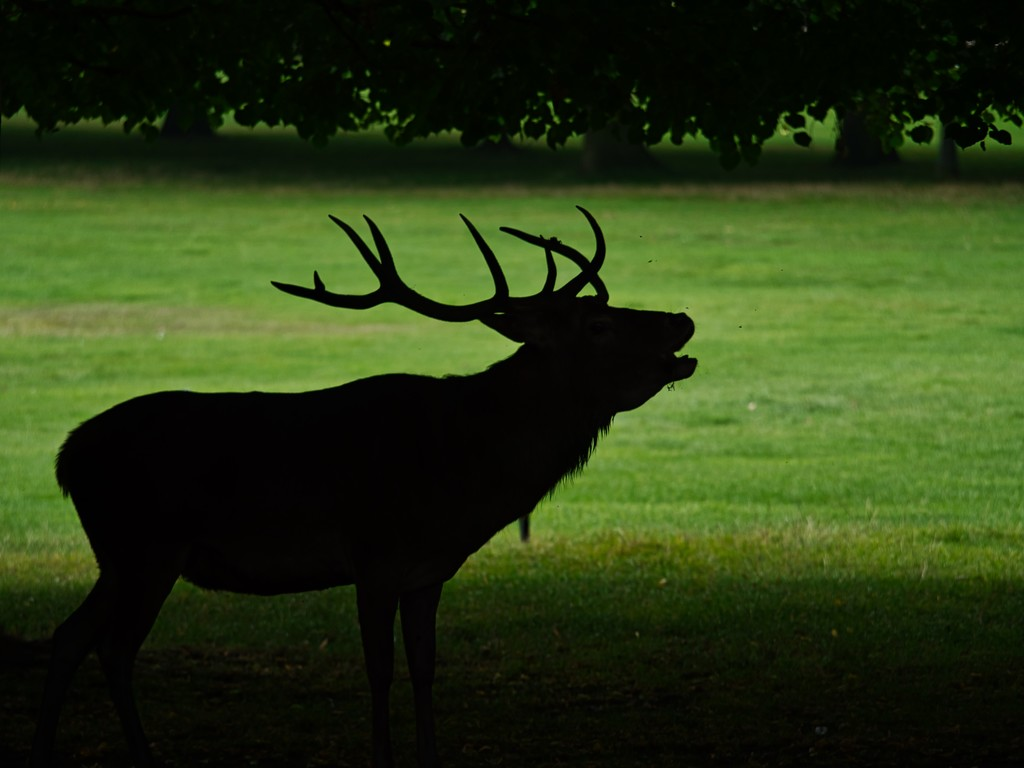Raw of the Stag. by tonygig