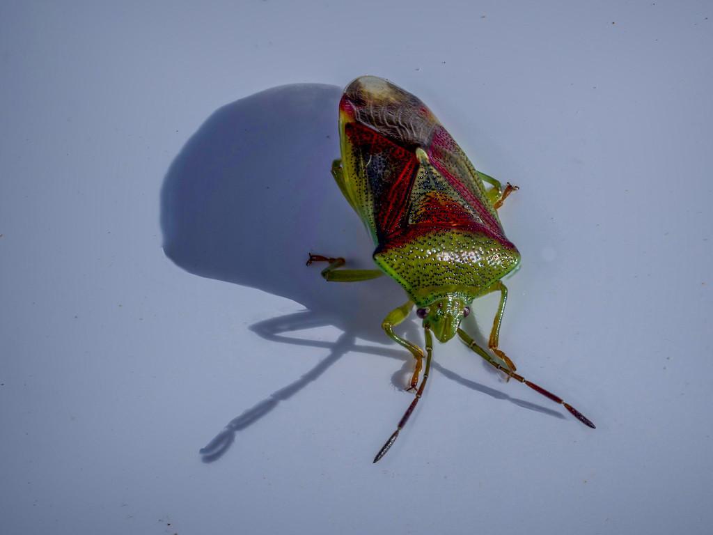 Stink bug by ellida