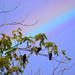 Crows in the Walnut Tree