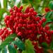 Rowan-berry