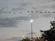 12th Sep 2019 - Flock of Geese Flying