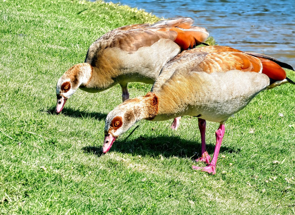 Egyptian Geese being greedy by ludwigsdiana