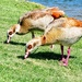 Egyptian Geese being greedy