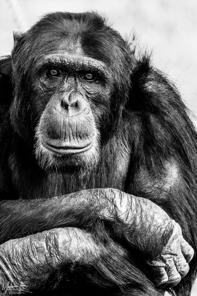 Chimpanzee by yorkshirekiwi