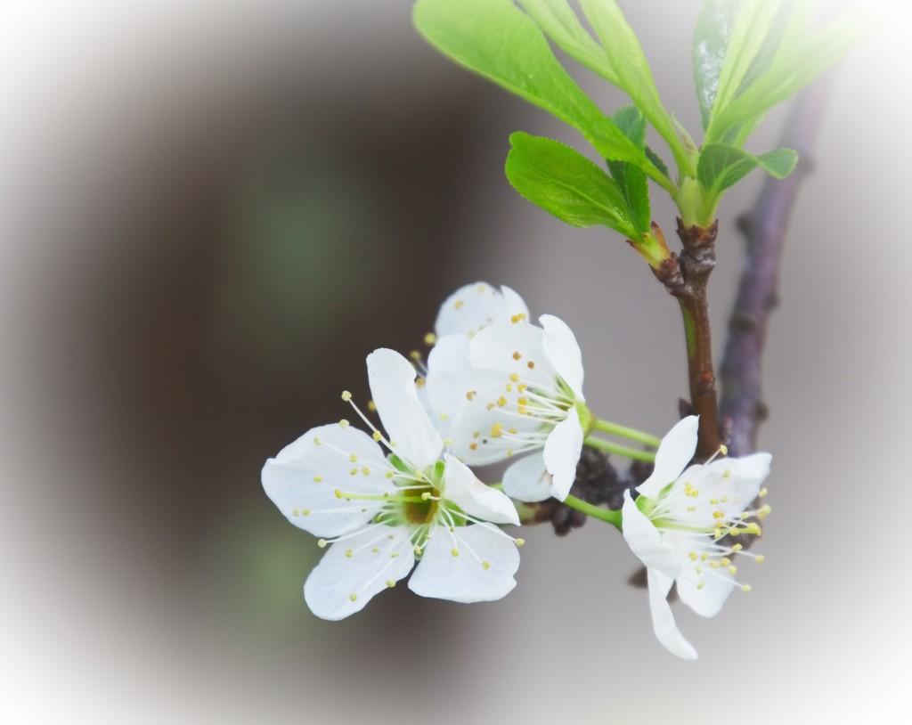 Plum petals by kiwinanna