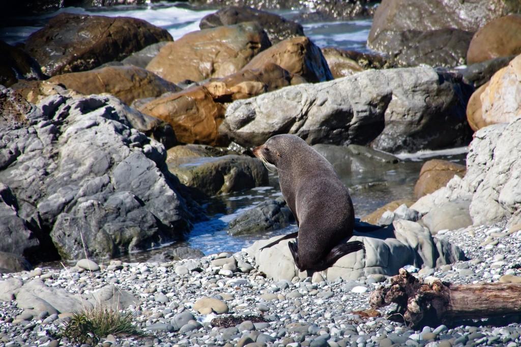 NZ Fur seal on the rocks by kiwinanna