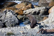 10th Sep 2019 - NZ Fur seal on the rocks