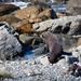 NZ Fur seal on the rocks