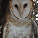 Day 250: Minerva the Barn Owl