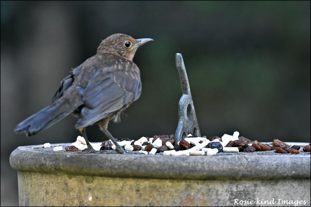 RK2_5680  One of our young blackbirds by rosiekind